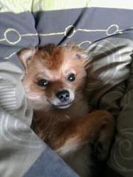 Goliath, chien Chihuahua