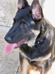 Goliath, chien Berger allemand