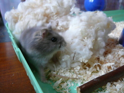 Goliath, rongeur Hamster