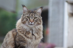 Goliath, chat Maine Coon