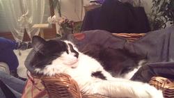 Goliath, chat Gouttière