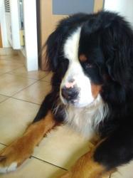 Goliath, chien Bouvier bernois