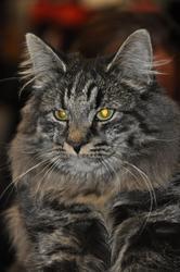 Goliath De La Tour D'eden, chat Norvégien