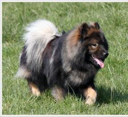 Goliath Des Légendes De Retz, chien Eurasier