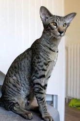 Goliath Des Masques D'Orient, chat Oriental