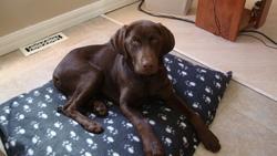 Goliatte, chien Labrador Retriever