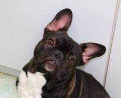 Gollum, chien Bouledogue français