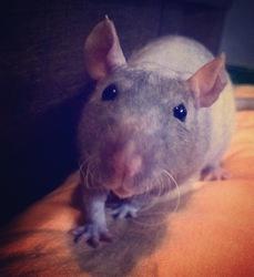 Gollum, rongeur Rat