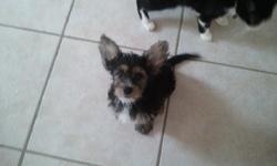 Gollum, chien Yorkshire Terrier