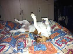 Gombo, chien Jack Russell Terrier