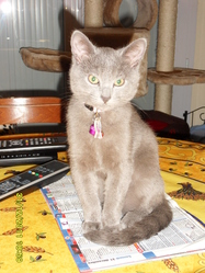 Gome, chat Chartreux