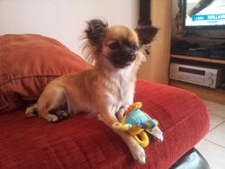 Gomette, chien Chihuahua