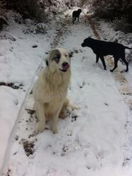 Gomette, chien Mâtin des Pyrénées