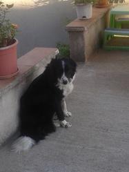 Gomette, chien Border Collie