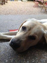 Gomette, chien Labrador Retriever
