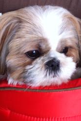 Gomette, chien Shih Tzu