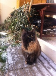 Gommette, chat Maine Coon