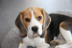 Gommette, chien Beagle