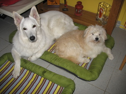 Gondor, chien Berger blanc suisse