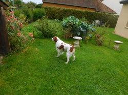 Gooby, chien Épagneul breton