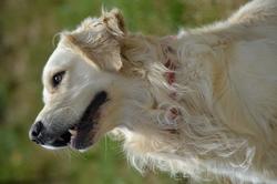 Goodchy, chien Golden Retriever