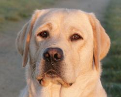 Goodness De L'Etang Balancet, chien Labrador Retriever