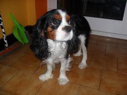 Goofy, chien Cavalier King Charles Spaniel