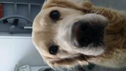 Google, chien Golden Retriever