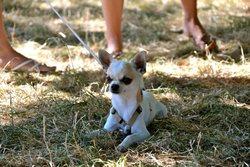 Goony, chien Chihuahua