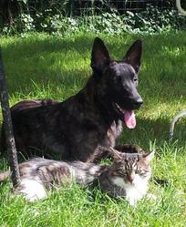 Goran, chien Berger hollandais