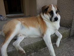 Goran, chien Mâtin espagnol