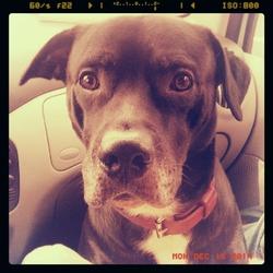 Gordo, chien Dogue argentin