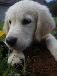 Gordon, chien Golden Retriever
