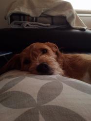 Gordon, chien