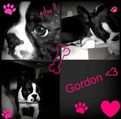 Gordon, chien Terrier de Boston