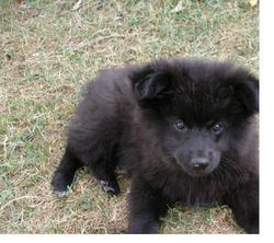 Gordon, chien Spitz allemand