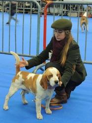 Gordon Du Prieuré De Vernelle, chien Beagle