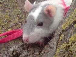 Gorgonzola, rongeur Rat