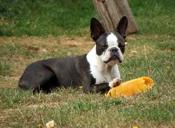 Gorgy, chien Terrier de Boston