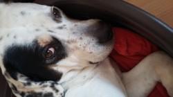 Gorka, chien Dalmatien