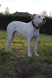 Gorka, chien Dogue argentin