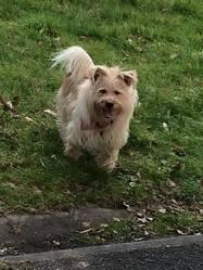 Gorky  , chien Yorkshire Terrier