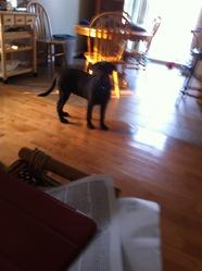 Gorky, chien Labrador Retriever
