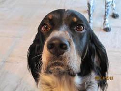 Gorky, chien Setter anglais