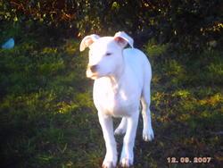 Gorro, chien Dogue argentin