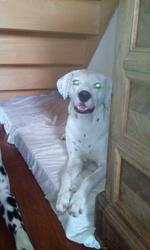 Gospêl, chien Dalmatien