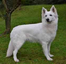 Gospel Du Mas D'Elronde, chien Berger blanc suisse