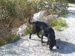 Gota, chien Labrador Retriever