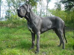 Gotan , chien Dogue allemand