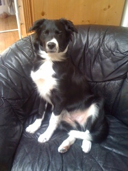 Gotham, chien Border Collie